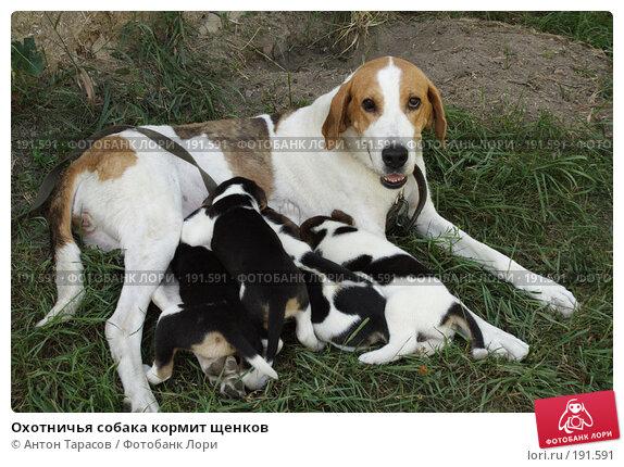 Охотничья собака кормит щенков, фото № 191591, снято 12 августа 2007 г. (c) Антон Тарасов / Фотобанк Лори