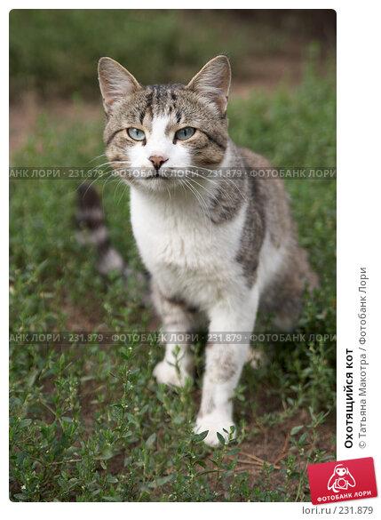 Охотящийся кот, фото № 231879, снято 7 августа 2006 г. (c) Татьяна Макотра / Фотобанк Лори