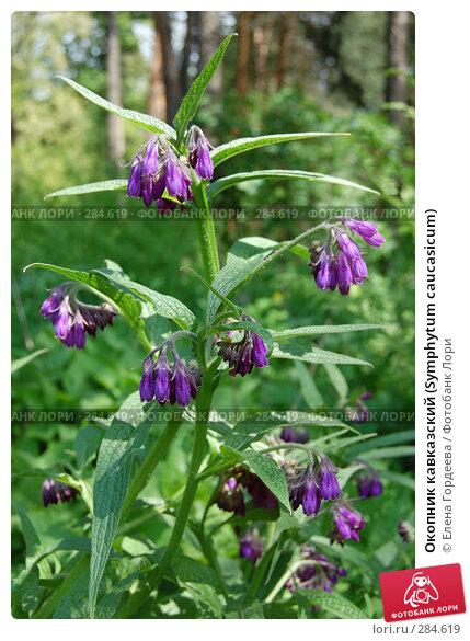 Окопник кавказский (Symphytum caucasicum), фото № 284619, снято 11 мая 2008 г. (c) Елена Гордеева / Фотобанк Лори