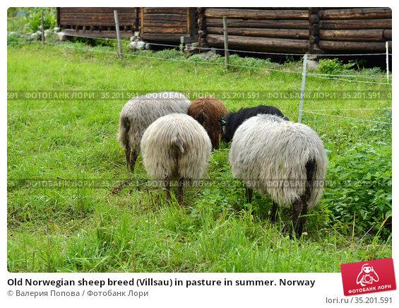 Old Norwegian sheep breed (Villsau) in pasture in summer. Norway. Стоковое фото, фотограф Валерия Попова / Фотобанк Лори