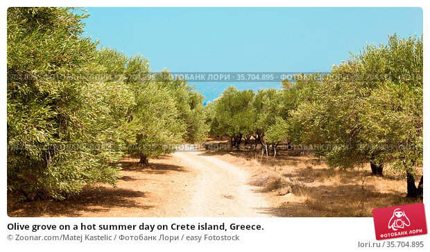 Olive grove on a hot summer day on Crete island, Greece. Стоковое фото, фотограф Zoonar.com/Matej Kastelic / easy Fotostock / Фотобанк Лори