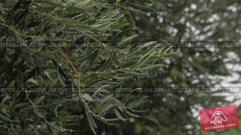 Купить «Olive tree and pouring rain», видеоролик № 28348299, снято 22 августа 2018 г. (c) Данил Руденко / Фотобанк Лори