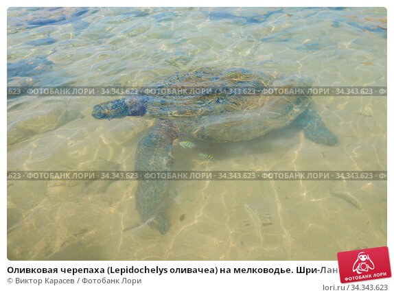 Оливковая черепаха (Lepidochelys оливачеа) на мелководье. Шри-Ланка. Стоковое фото, фотограф Виктор Карасев / Фотобанк Лори