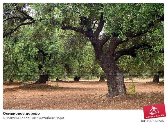 Оливковое дерево, фото № 164507, снято 19 мая 2007 г. (c) Максим Горпенюк / Фотобанк Лори