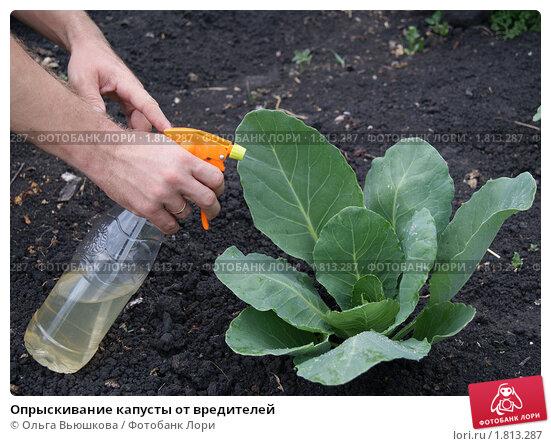 как опрыскивать уксусом капусту