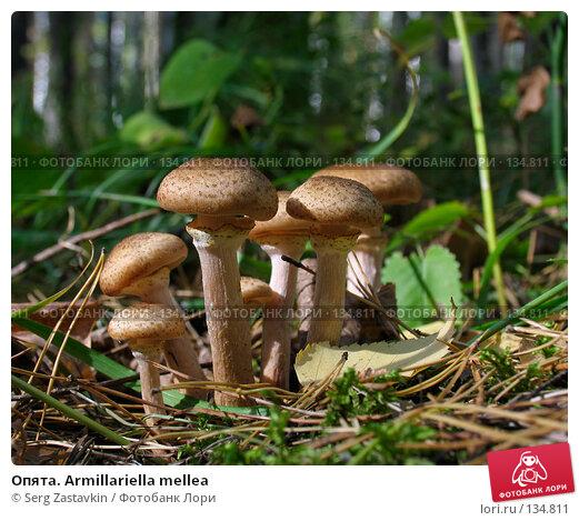Опята. Armillariella mellea, фото № 134811, снято 17 сентября 2005 г. (c) Serg Zastavkin / Фотобанк Лори