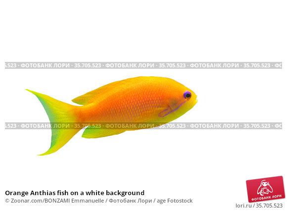 Orange Anthias fish on a white background. Стоковое фото, фотограф Zoonar.com/BONZAMI Emmanuelle / age Fotostock / Фотобанк Лори