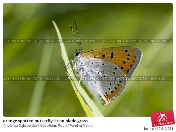 orange spotted butterfly sit on blade grass. Стоковое фото, фотограф Jolanta Dąbrowska / PantherMedia / Фотобанк Лори