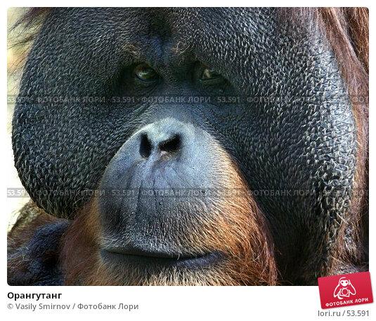 Орангутанг, фото № 53591, снято 24 марта 2017 г. (c) Vasily Smirnov / Фотобанк Лори