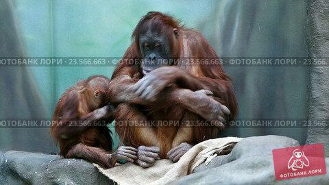 Купить «Орангутаны. Мать и детеныш», видеоролик № 23566663, снято 9 марта 2015 г. (c) Сергей Лаврентьев / Фотобанк Лори