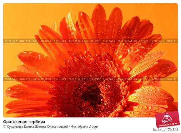 Оранжевая гербера, фото № 170543, снято 30 апреля 2005 г. (c) Суханова Елена (Елена Счастливая) / Фотобанк Лори