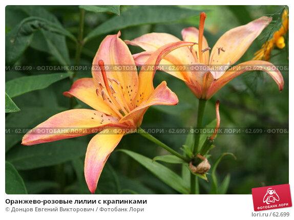 Оранжево-розовые лилии с крапинками, фото № 62699, снято 10 июля 2007 г. (c) Донцов Евгений Викторович / Фотобанк Лори