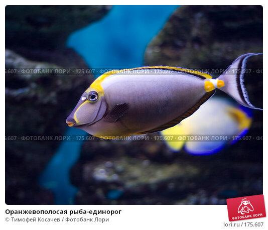 Оранжевополосая рыба-единорог, фото № 175607, снято 3 января 2008 г. (c) Тимофей Косачев / Фотобанк Лори