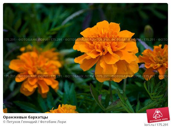 Оранжевые бархатцы, фото № 175291, снято 30 июня 2007 г. (c) Петухов Геннадий / Фотобанк Лори