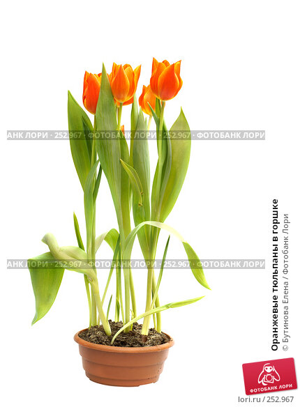 Оранжевые тюльпаны в горшке, фото № 252967, снято 27 марта 2008 г. (c) Бутинова Елена / Фотобанк Лори