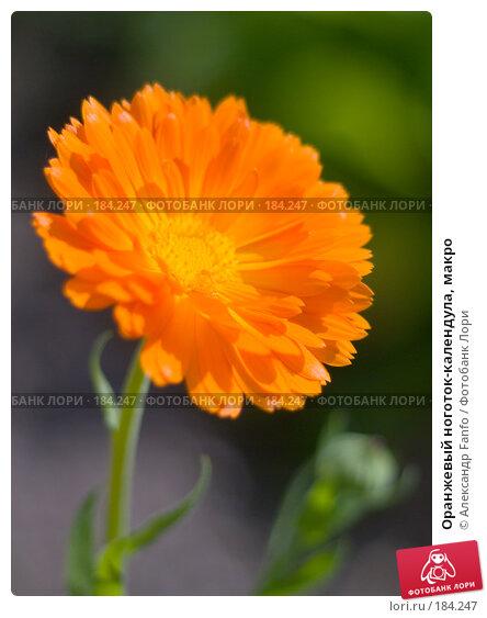 Оранжевый ноготок-календула, макро, фото № 184247, снято 27 октября 2016 г. (c) Александр Fanfo / Фотобанк Лори