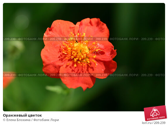 Оранжевый цветок, фото № 209239, снято 24 мая 2007 г. (c) Елена Блохина / Фотобанк Лори