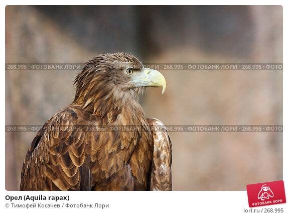 Орел (Aquila rapax), фото № 268995, снято 12 апреля 2008 г. (c) Тимофей Косачев / Фотобанк Лори