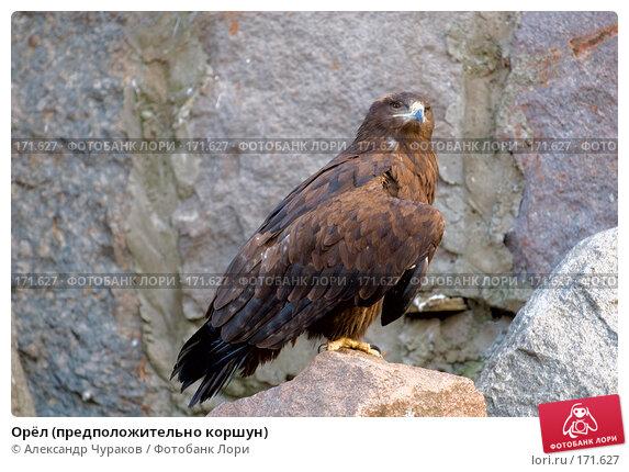 Орёл (предположительно коршун), фото № 171627, снято 1 января 2008 г. (c) Александр Чураков / Фотобанк Лори