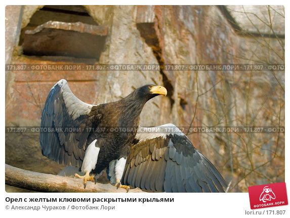 Орел с желтым клювоми раскрытыми крыльями, фото № 171807, снято 1 января 2008 г. (c) Александр Чураков / Фотобанк Лори