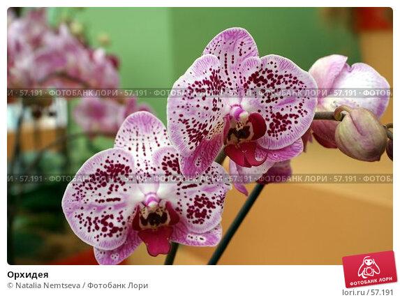 Купить «Орхидея», эксклюзивное фото № 57191, снято 7 апреля 2007 г. (c) Natalia Nemtseva / Фотобанк Лори