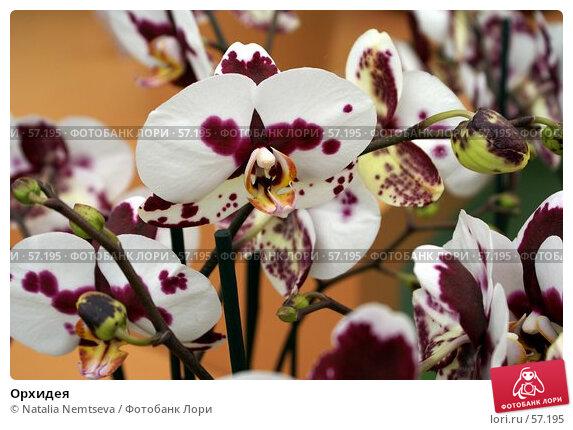 Орхидея, эксклюзивное фото № 57195, снято 7 апреля 2007 г. (c) Natalia Nemtseva / Фотобанк Лори