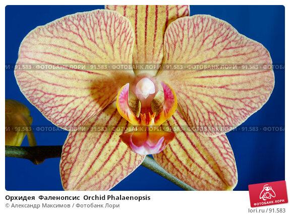 Орхидея  Фаленопсис  Orchid Phalaenopsis, фото № 91583, снято 23 сентября 2006 г. (c) Александр Максимов / Фотобанк Лори