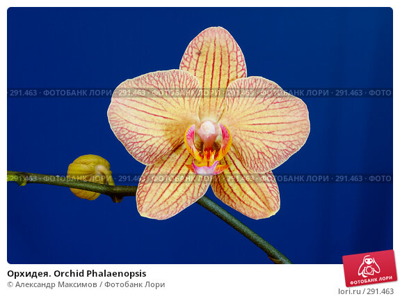 Купить «Орхидея. Orchid Phalaenopsis», фото № 291463, снято 23 сентября 2006 г. (c) Александр Максимов / Фотобанк Лори