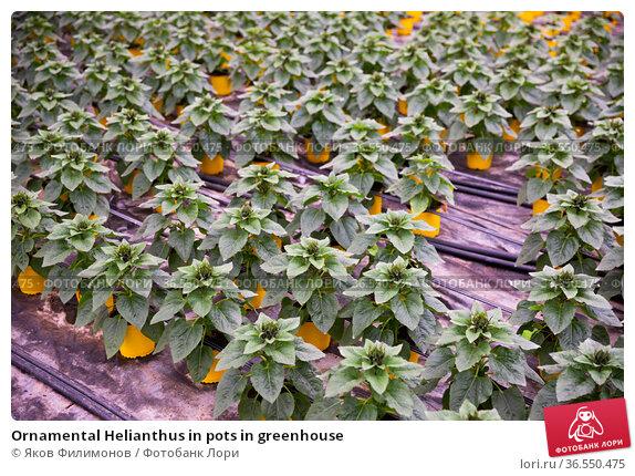 Ornamental Helianthus in pots in greenhouse. Стоковое фото, фотограф Яков Филимонов / Фотобанк Лори