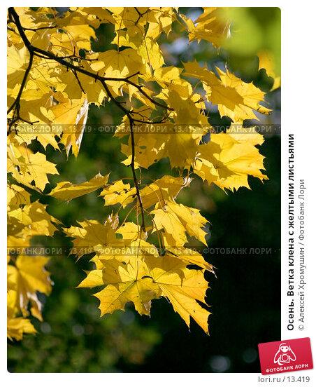 Осень. Ветка клена с желтыми листьями, фото № 13419, снято 28 сентября 2006 г. (c) Алексей Хромушин / Фотобанк Лори