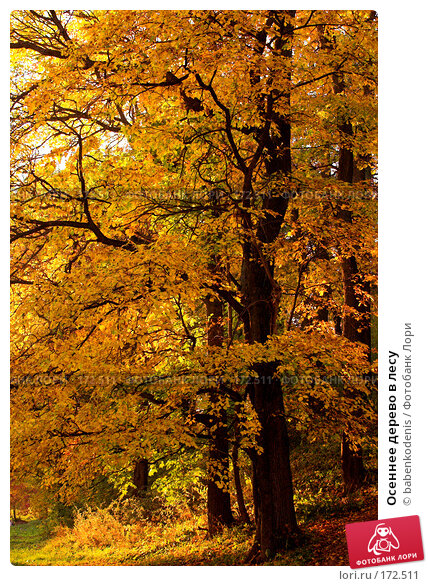 Осеннее дерево в лесу, фото № 172511, снято 30 сентября 2005 г. (c) Бабенко Денис Юрьевич / Фотобанк Лори