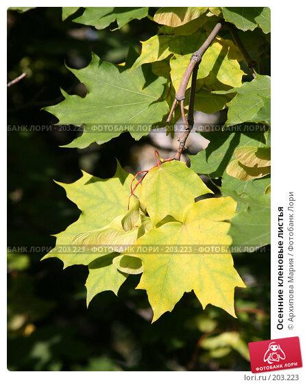 Осенние кленовые листья, фото № 203223, снято 14 сентября 2007 г. (c) Архипова Мария / Фотобанк Лори