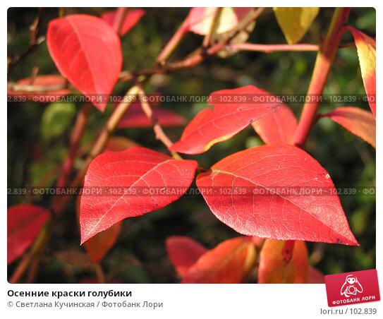 Осенние краски голубики, фото № 102839, снято 24 июля 2017 г. (c) Светлана Кучинская / Фотобанк Лори