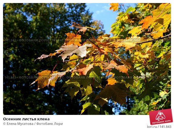 Осенние листья клена, фото № 141843, снято 4 декабря 2016 г. (c) Елена Мусатова / Фотобанк Лори