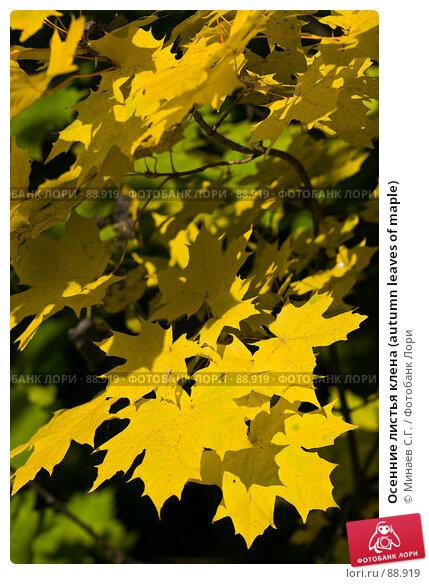 Осенние листья клена (autumn leaves of maple), фото № 88919, снято 22 сентября 2007 г. (c) Минаев С.Г. / Фотобанк Лори