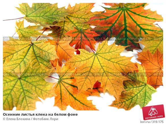 Купить «Осенние листья клена на белом фоне», фото № 319175, снято 22 сентября 2007 г. (c) Елена Блохина / Фотобанк Лори