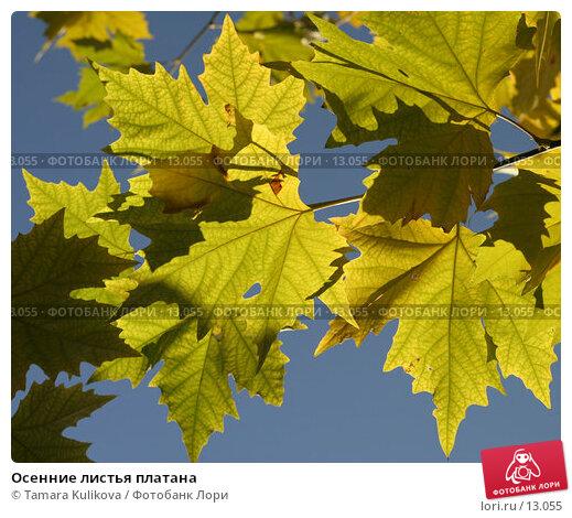 Осенние листья платана, фото № 13055, снято 18 ноября 2006 г. (c) Tamara Kulikova / Фотобанк Лори