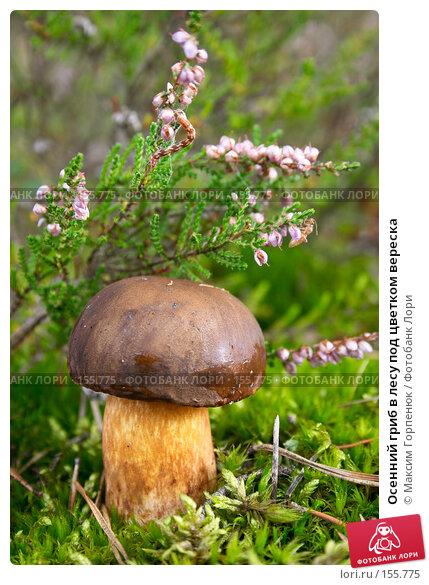 Купить «Осенний гриб в лесу под цветком вереска», фото № 155775, снято 20 сентября 2007 г. (c) Максим Горпенюк / Фотобанк Лори