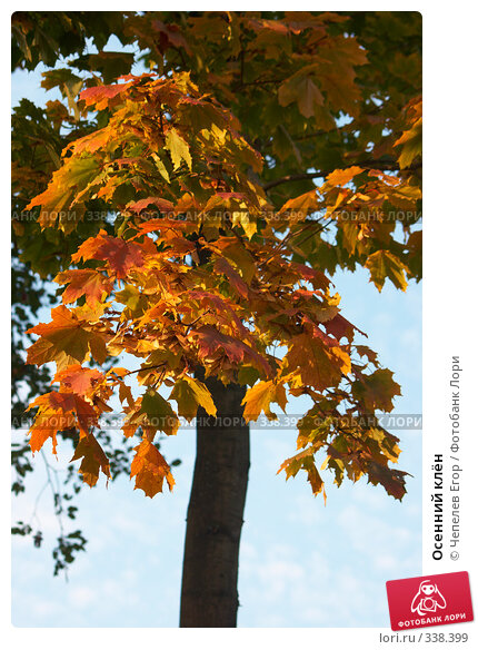 Осенний клён, фото № 338399, снято 29 сентября 2007 г. (c) Чепелев Егор / Фотобанк Лори