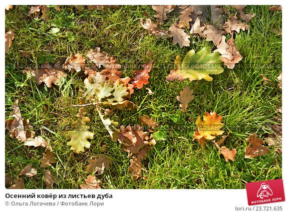 Купить «Осенний ковёр из листьев дуба», фото № 23721635, снято 21 сентября 2016 г. (c) Ольга Логачева / Фотобанк Лори