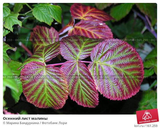 Купить «Осенний лист малины», фото № 161259, снято 9 сентября 2006 г. (c) Марина Бандуркина / Фотобанк Лори