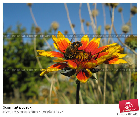 Осенний цветок, фото № 103411, снято 28 октября 2016 г. (c) Dmitriy Andrushchenko / Фотобанк Лори
