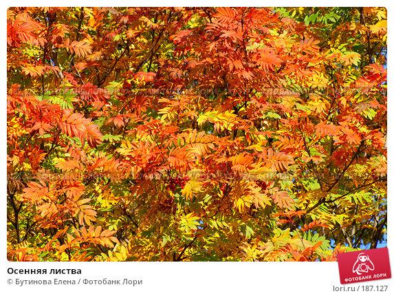 Купить «Осенняя листва», фото № 187127, снято 25 сентября 2007 г. (c) Бутинова Елена / Фотобанк Лори