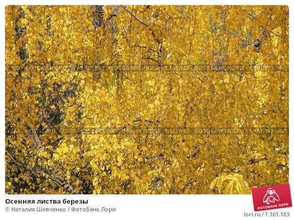 Купить «Осенняя листва березы», фото № 1161183, снято 14 октября 2009 г. (c) Наталия Шевченко / Фотобанк Лори