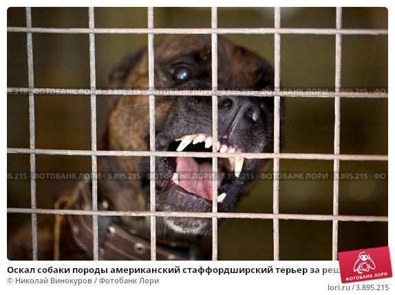 Купить «Оскал собаки породы американский стаффордширский терьер за решеткой», фото № 3895215, снято 28 сентября 2012 г. (c) Николай Винокуров / Фотобанк Лори