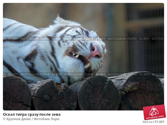 Оскал тигра сразу после зева, фото № 51891, снято 11 мая 2007 г. (c) Крупнов Денис / Фотобанк Лори