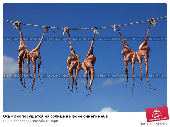 Купить «Осьминоги сушатся на солнце на фоне синего неба», эксклюзивное фото № 1816447, снято 22 июня 2010 г. (c) Яна Королёва / Фотобанк Лори