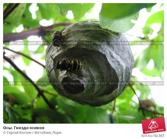 Осы. Гнездо осиное, фото № 92567, снято 8 июля 2007 г. (c) Сергей Костин / Фотобанк Лори