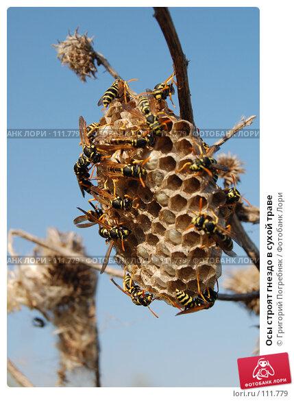 Осы строят гнездо в сухой траве, фото № 111779, снято 2 июля 2007 г. (c) Григорий Погребняк / Фотобанк Лори
