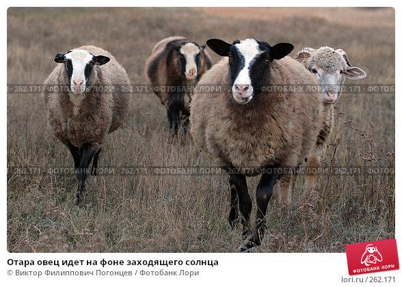 Купить «Отара овец идет на фоне заходящего солнца», фото № 262171, снято 21 октября 2005 г. (c) Виктор Филиппович Погонцев / Фотобанк Лори